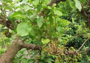 hình ảnh cây ngái