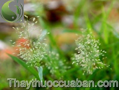 Cỏ may - Chrysopogon aciculatus (Retz.) Trin., thuộc họ Lúa - Poaceae.