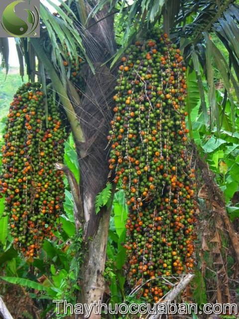 Đùng đình - Caryota mitis Lour., thuộc họ Cau - Arecaceae.