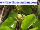 Radix polygoni multiflora. ,polygonum multi florum Thunb. ,fleeceflower root Hà thủ ô.