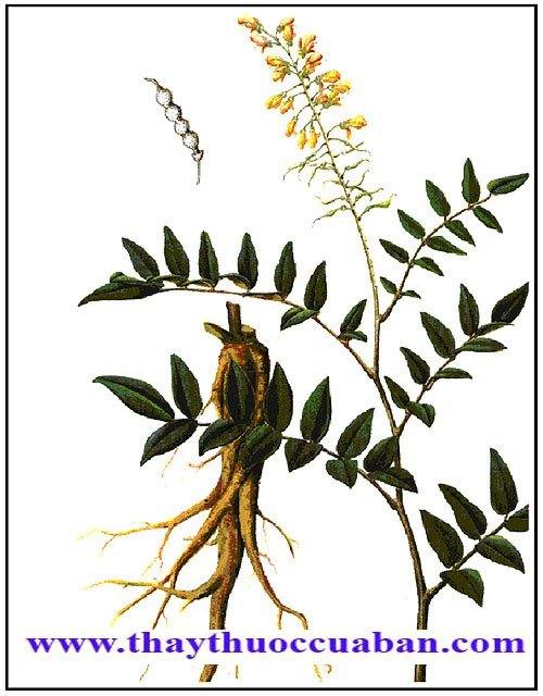 Khổ sâm cho rễ vị thuốc bổ, lợi tiểu tiện