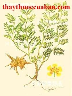 Hình ảnh cây tật lê, tật lê