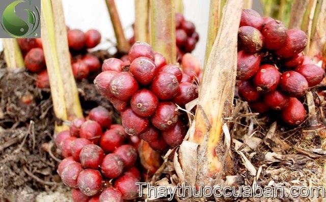 Hình ảnh cây thảo quả, thảo quả