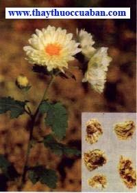 Hình ảnh cây cúc, vị thuốc cúc hoa