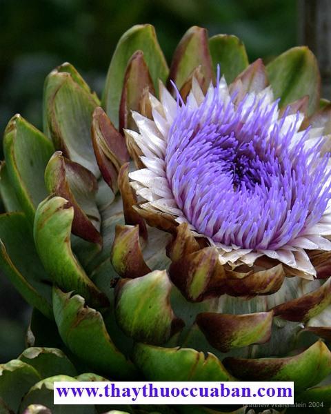 Hình ảnh cây atiso, hoa atiso, atiso