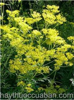 Cây Bại tương thảo -Patrinia scaplosaefolia Lamk