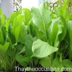 Hình ảnh cây cải ngọt