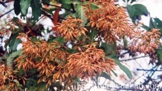 Hình ảnh cây canh ki na, canh ki na