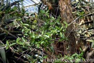 Hình ảnh cây một dược