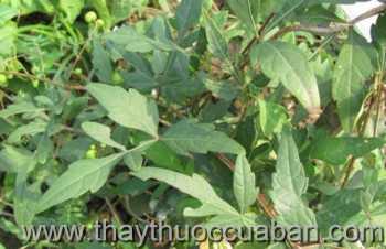 Hình ảnh cây Bạch liễm