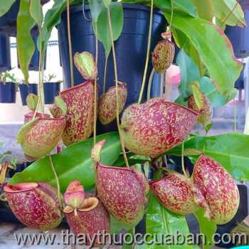 Hình ảnh cây Nắp ấm