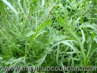 Hình ảnh cây Chân vịt