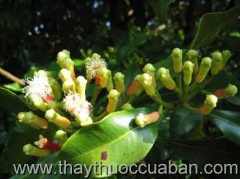 Hình ảnh cây Đinh Hương