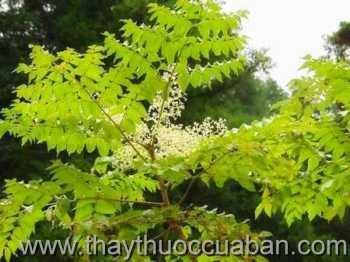Hình ảnh cây Đơn châu chấu