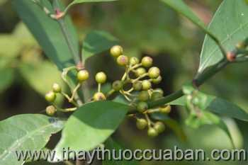 Hình ảnh cây Đơn trắng