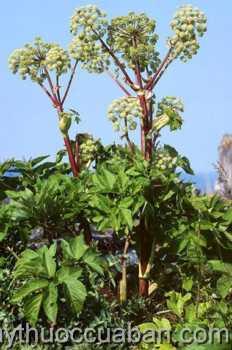 Hình ảnh cây Đương quy