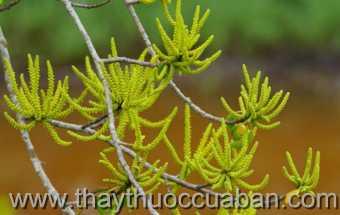 Hình ảnh cây Giá