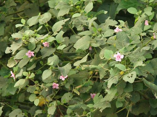 Hình ảnh cây ké hoa đào