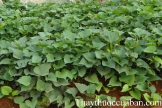 Hình ảnh cây khoai lang