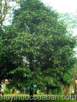 Hình ảnh cây Kim giao