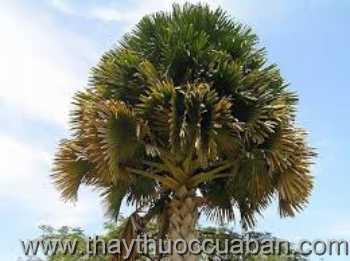Hình ảnh cây Lá buông