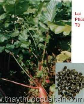 Hình ảnh cây Lai phụ tử