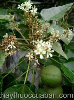 Hình ảnh cây Lai