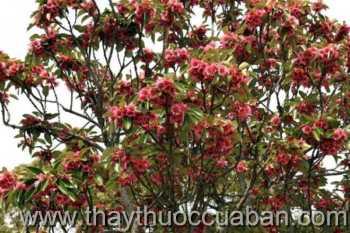 Hình ảnh cây Lôi