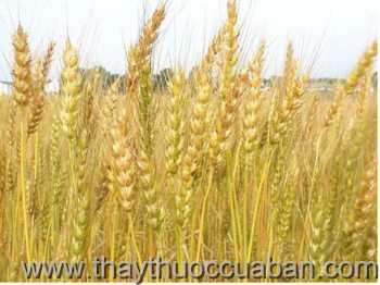 Hình ảnh cây lúa mì