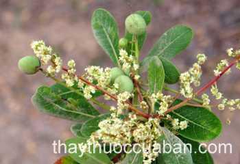Hình ảnh cây Mô ca