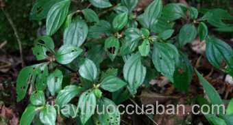 Hình ảnh cây Mua bò