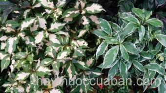 Hình ảnh cây Ngọc diệp