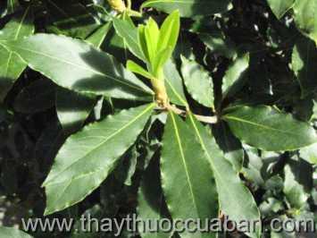 Hình ảnh cây Nguyệt quế