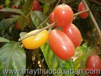 Hình ảnh cây Nhót