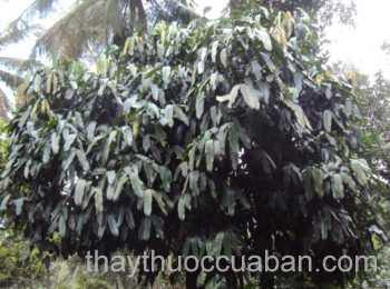 Hình ảnh cây Nụ