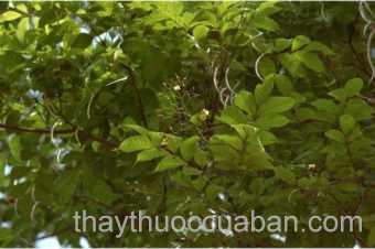 Hình ảnh cây Quao