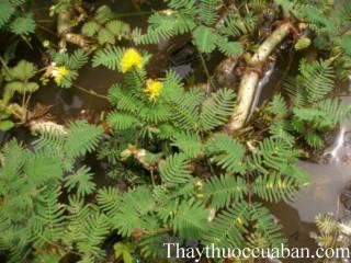 Hình ảnh cây rau rút