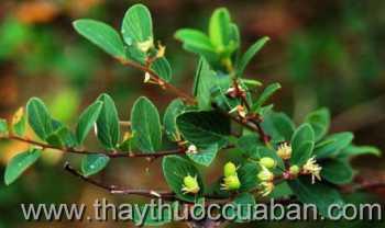 Cây rung rúc-Berchemia lineata