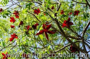 Hình ảnh cây Sang