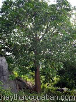 Hình ảnh cây Sơn huyết