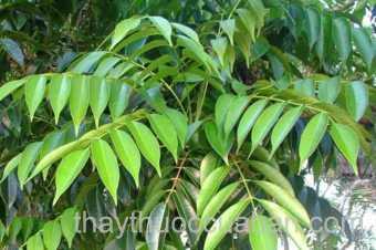 Hình ảnh cây Sơn