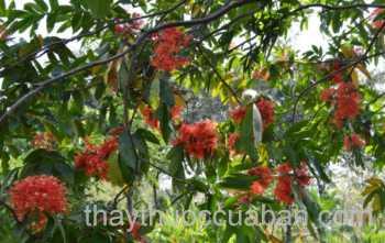 Hình ảnh cây Thô