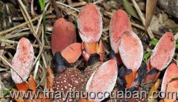 Hình ảnh cây Tỏa dương