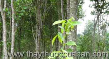 Hình ảnh cây Trầm hương