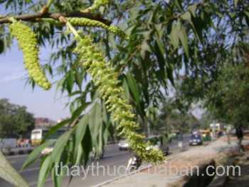 Hình ảnh cây Vả