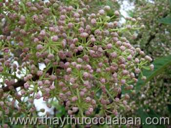 Hình ảnh cây Vai-Daphniphyllum-Calycinum
