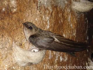 Hình ảnh chim yến, yến sào