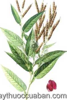 Hình ảnh cây Cổ bình