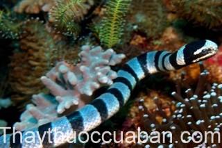 Hình ảnh con rắn biển, rắn biển