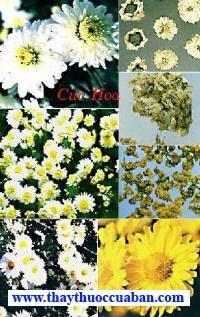Hình ảnh cúc hoa, vị thuốc cúc hoa